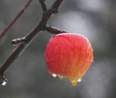 Яблочко последнее